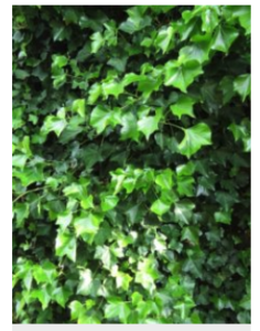 Image fo english ivy