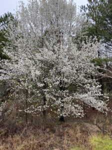 callery pear tree blooming in forest edge